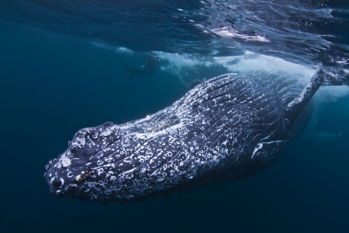 whale belly (Mittel)